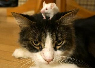Mouse on a cat's head