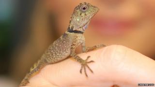 Bell's anglehead lizard