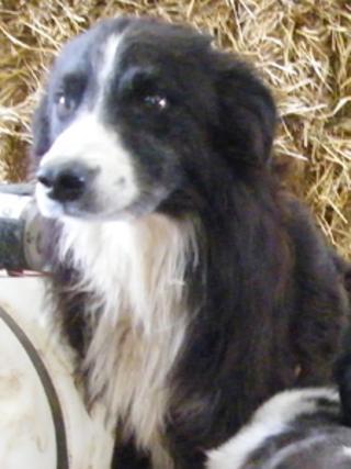 Pero the sheepdog