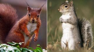 Native red squirrel (l) and a grey squirrel