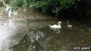 Swans in Bodmin