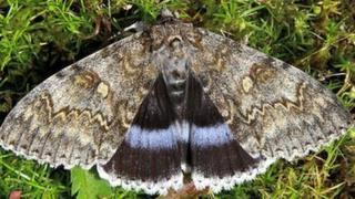 Clifden nonpareil moth