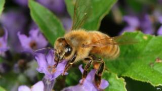 Honeybee on lavender (c) Science Photo Library