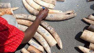 A Kenya Wildlife Service (KWS) officer numbers elephant ivory tusks on July 3, 2013 after a container destined to Malasyia full of tusks was seized in a private yard in the Changamwe area, having come from Uganda at the ports of Mombasa.