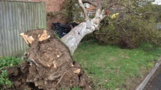Tree ripped up by 'tornado'