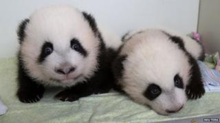 Twin panda cubs Mei Huan and Mei Lun.