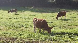Guernsey cattle grazing