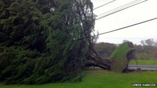 A tree uprooted in Pendine in Carmarthenshire
