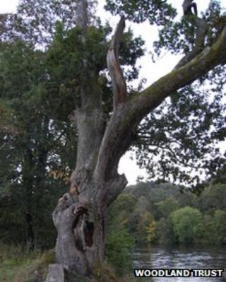 Niel Gow's Oak