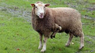 The five-legged sheep
