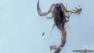 Scorpion which is claimed to have stung Tyrone Hilton
