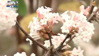 Tree blossom in Chisinau