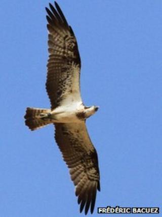 Kielder osprey seen in Senegal
