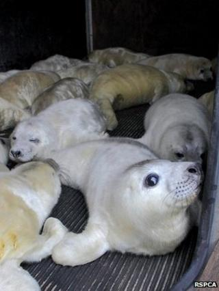 Seals at RSPCA East Winch