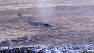 Whale at Abergele