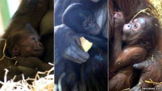 Great apes born at Twycross in 2013