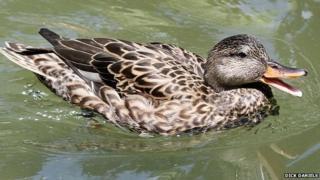 Female Gadwell duck