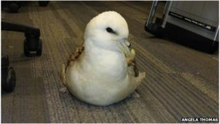 Rescued Fulmar sat in the Chesil Beach office preening while it was waiting to be collected for rehabilitation Angela Thomas