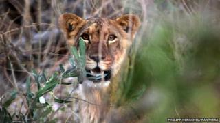 A lion cub in Nigeria