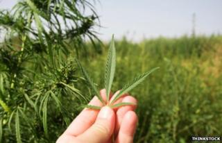 Field of wild growing cannabis