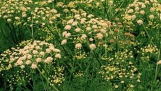 Hemlock water dropwort weed or 'poison parsnips'.