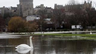 A swan on a flooded field next to the river Thames in Windsor, Berkshire