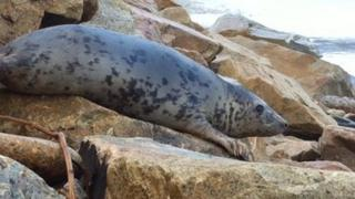 One of the seals, Milky Way