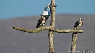 Glesni (left) and Monty (right) on the ash tree perch