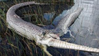 Snake burst open after eating alligator