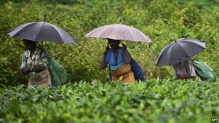 Assam tea pickers