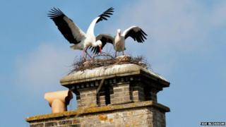 Storks nesting at Thrigby Hall