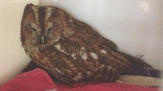 Lucky the tawny Owl