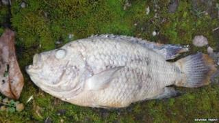 A dead piranha
