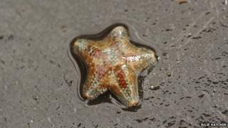 Cushion starfish (Asterina phylactica)