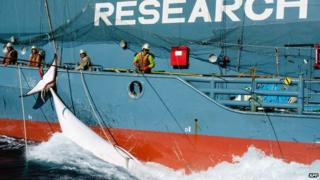 Minke whale caught by Japanese vessel - file pic