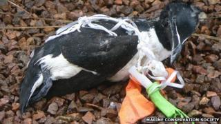 Razorbill caught in balloon cord (pic by Christine McGuinness, MCS)