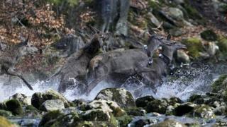 Deer near the town of Harrachov, Czech Republic - 8 April 2014