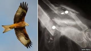 Red kite in flight and x-ray of injured bird's wing