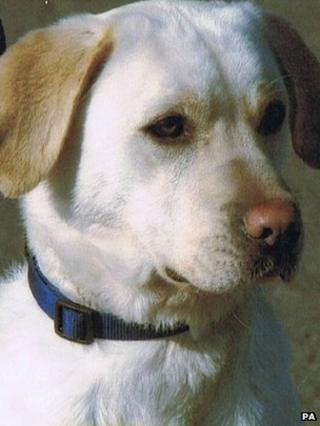 Sasha, the four-year-old Labrador
