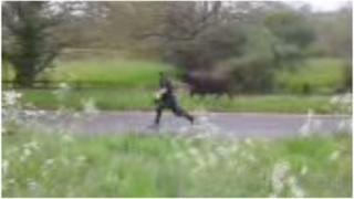 Runaway cow