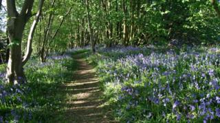 Bluebells in National Forest at Pear Tree Wood in Leicestershire
