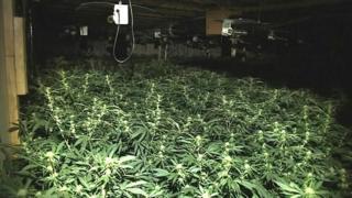 Cannabis plant factory in Soham