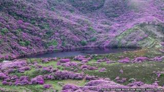 The thick rhododenron forest is on steep ground overlooking Bay Lough in the Knockmealdowns Mountains