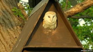 Barn owl in box