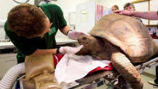 A vet checks Helen the giant tortoise at Bristol Zoo