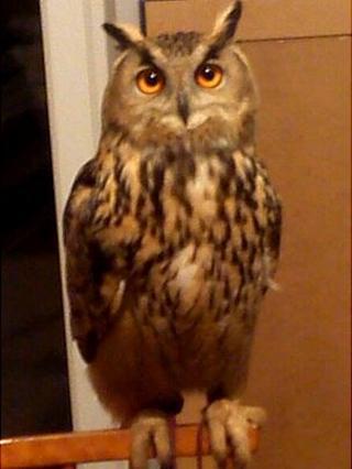 Sam the European eagle owl