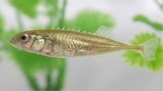 Stickleback fish