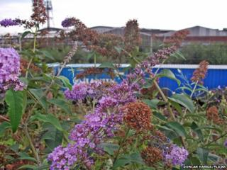 Buddleia at Willesden Junction