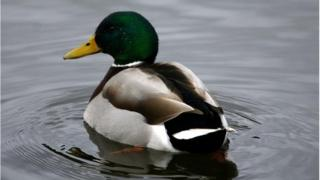 One of the ducks was allegedly killed by a young person stamping on its head, an RSPCA spokeswoman said.