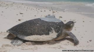 Green sea turtle with tracker device